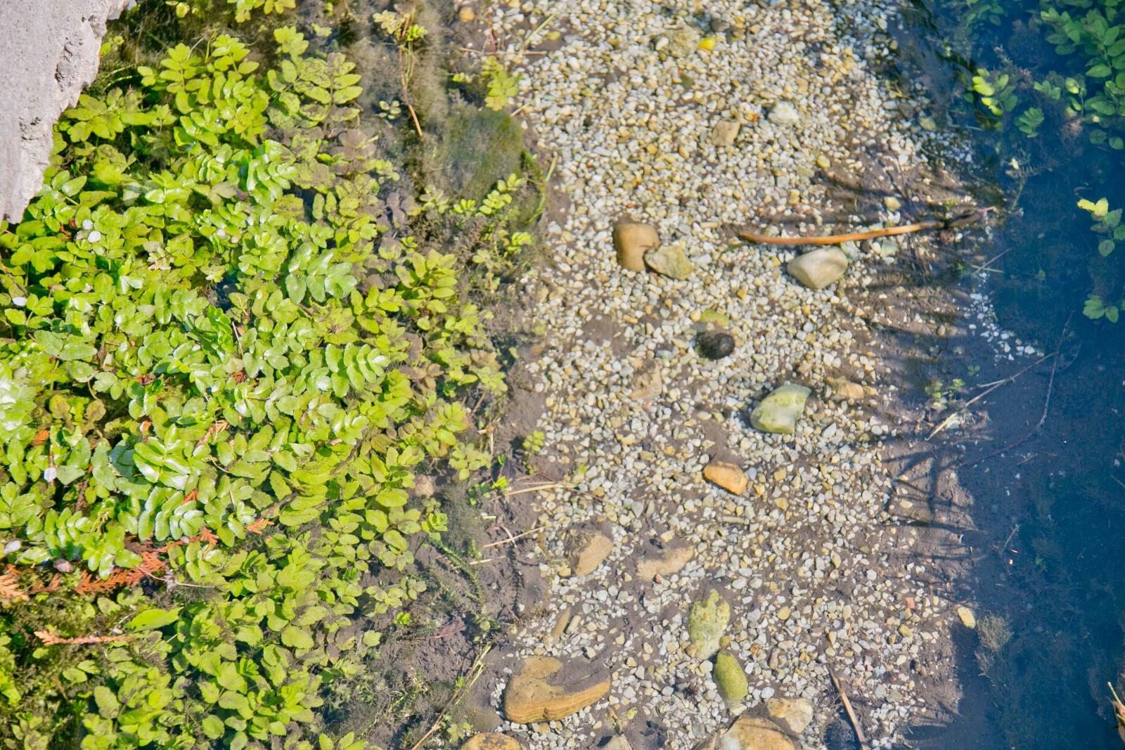 Brunnenkresse als Zeichen für perfekte Trinkwasserqualität