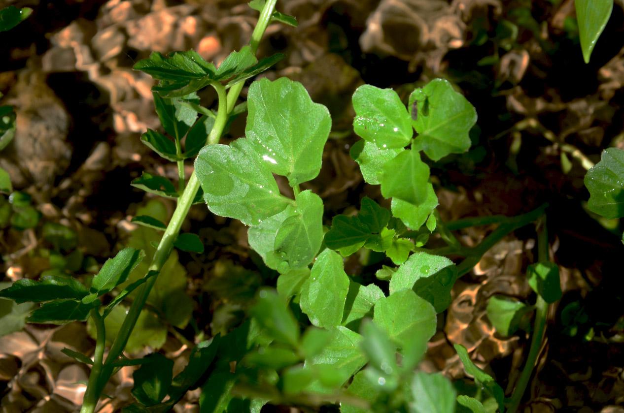 Gefiederte Blätter der echten Brunnekresse