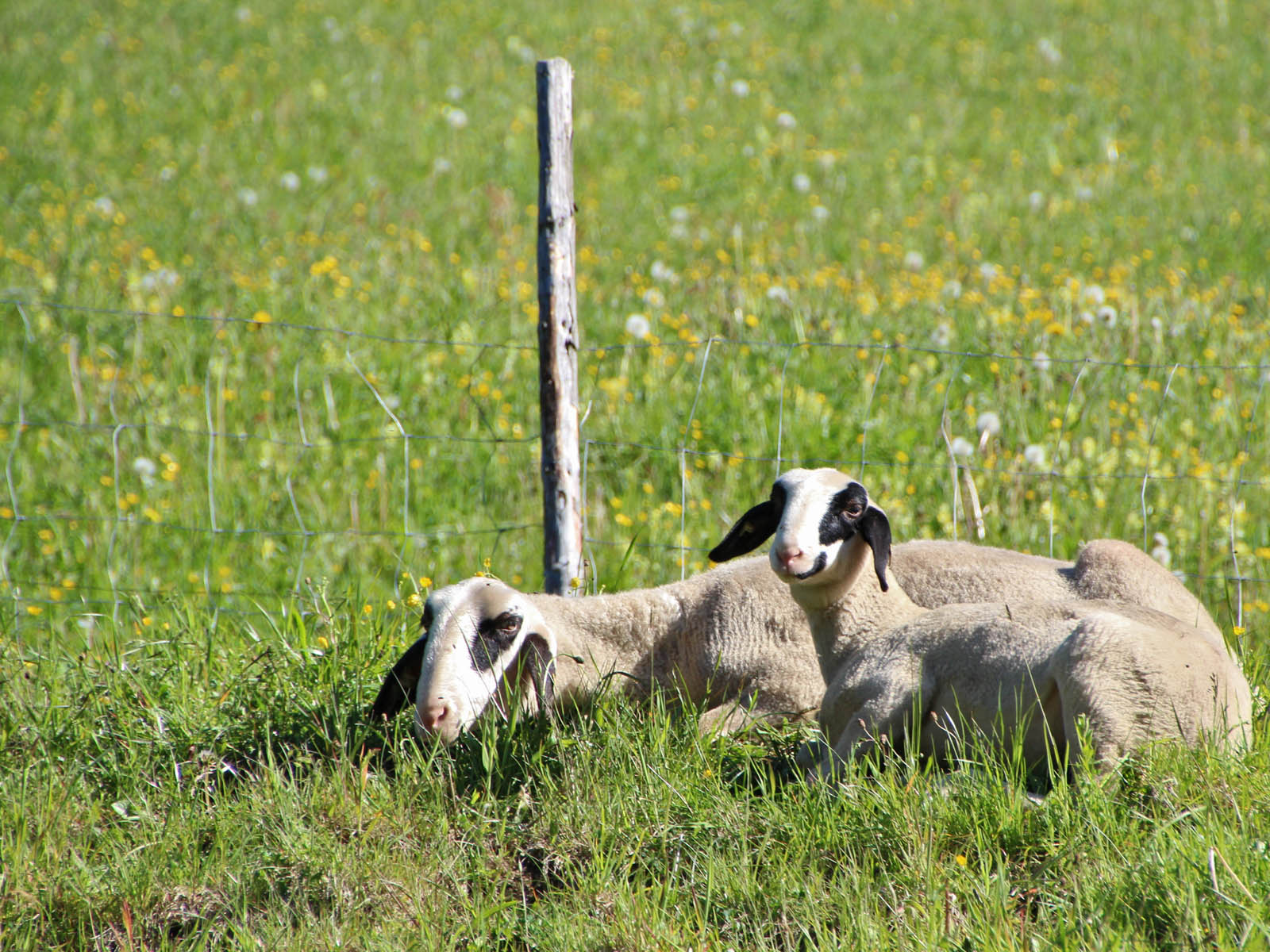 Die Schafe  genießen die wärmende Frühlingssonne