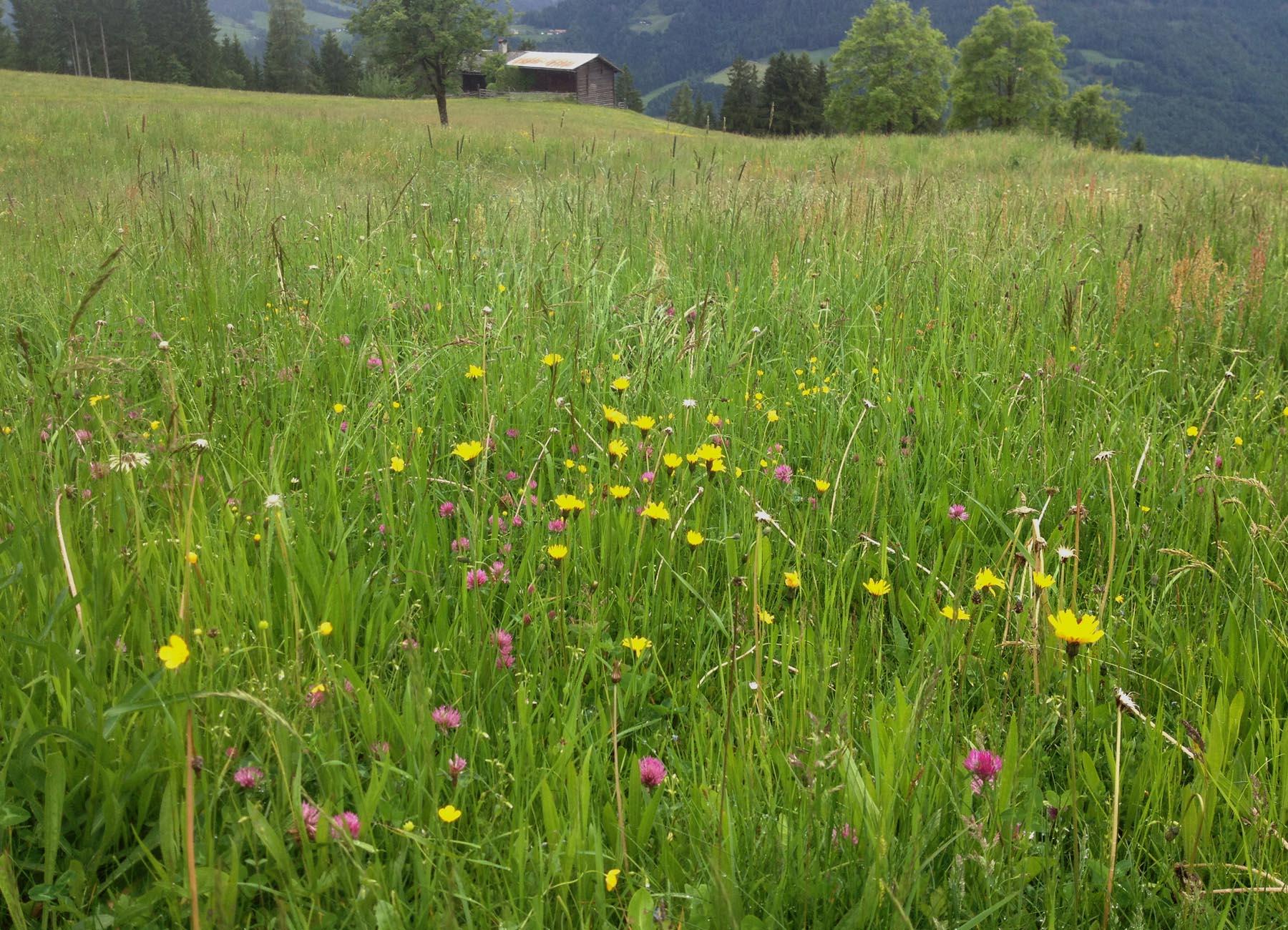 Naturschauspiel einer Blumenwiese im Pongau