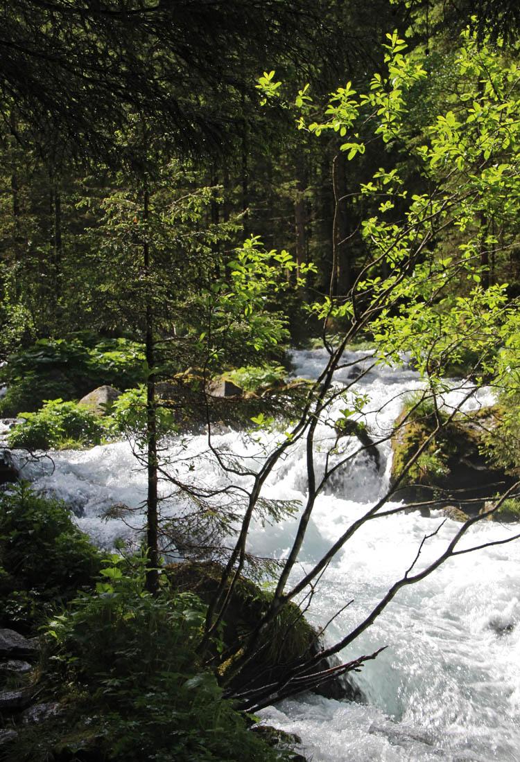 Die Alpenerle ist eine wahre Spezialistin für unwirtliche Standorte.