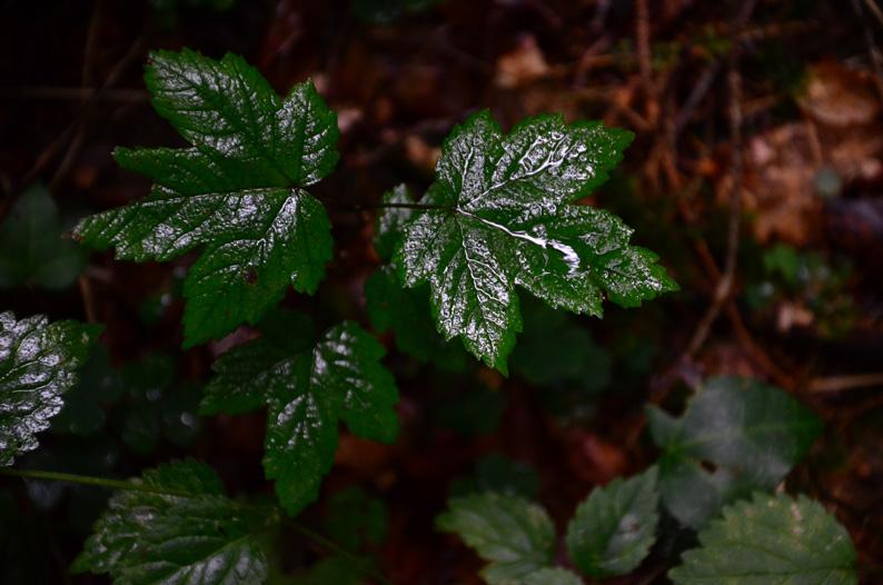 Nass-glänzende Blätter