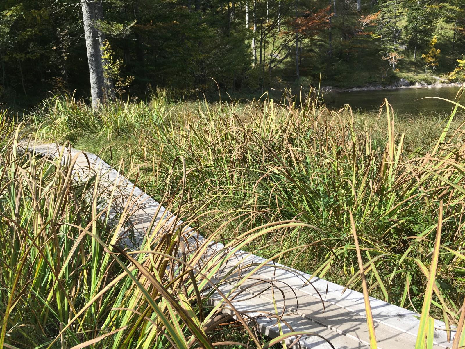 Steg über einem Sumpfgebiet am See