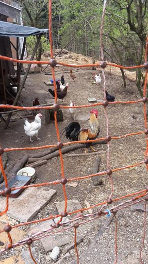 Hühner samt Hahn