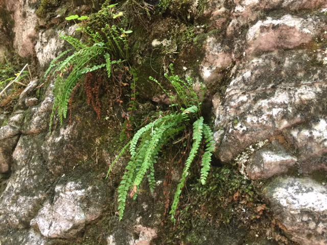 Farne wachsen aus Felsritzen