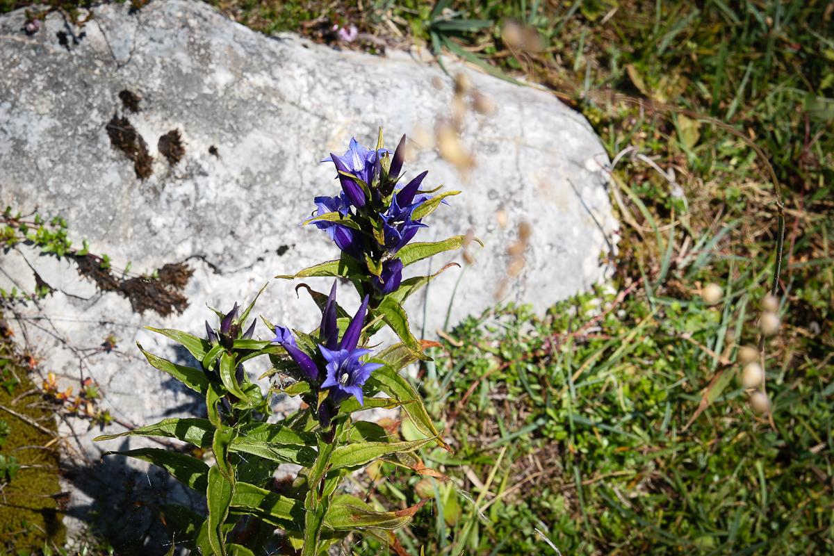 Ein Highlight der Almblumenwanderung - der wunderschön blaue Schwalbenwurz-Enzian