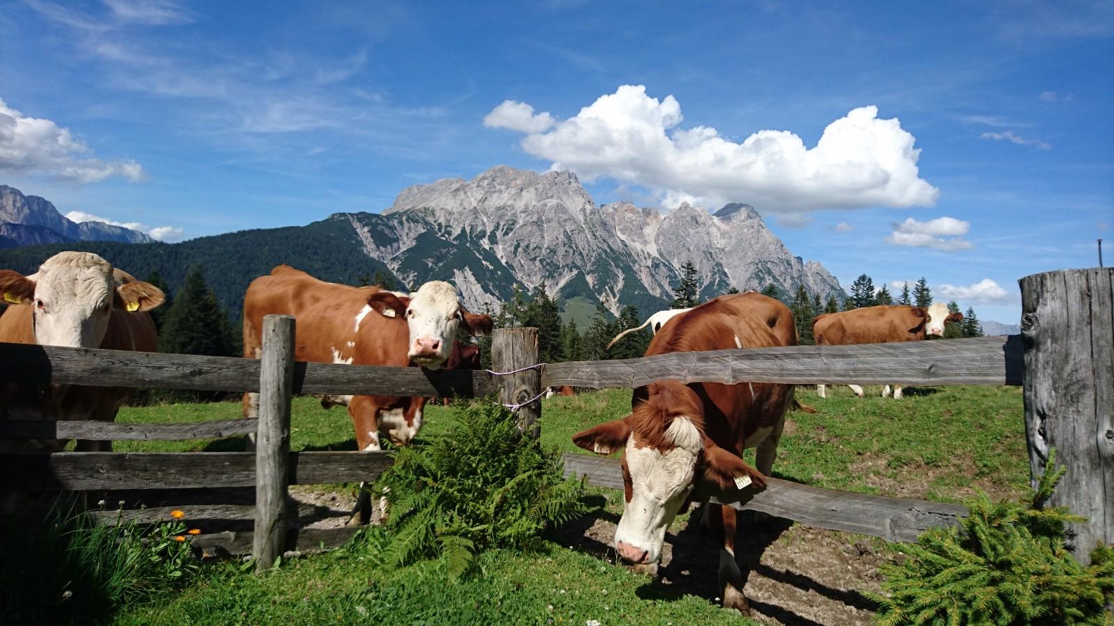 Kühe genießen den Almsommer