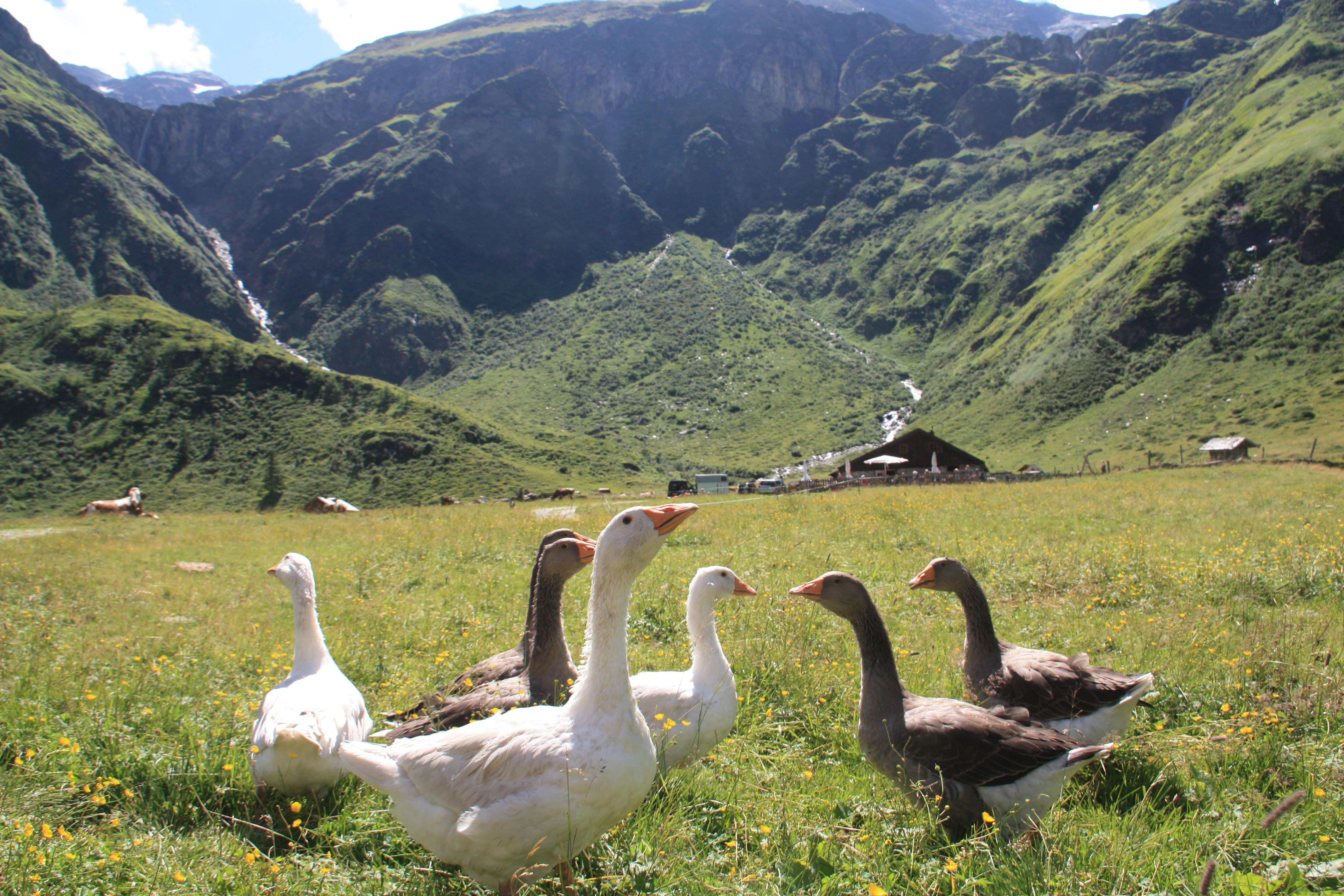 © SalzburgerLand Tourismus, Martina Egger, Die Gänse begrüßen schnatternd die Wanderer auf der Veitbauernalm