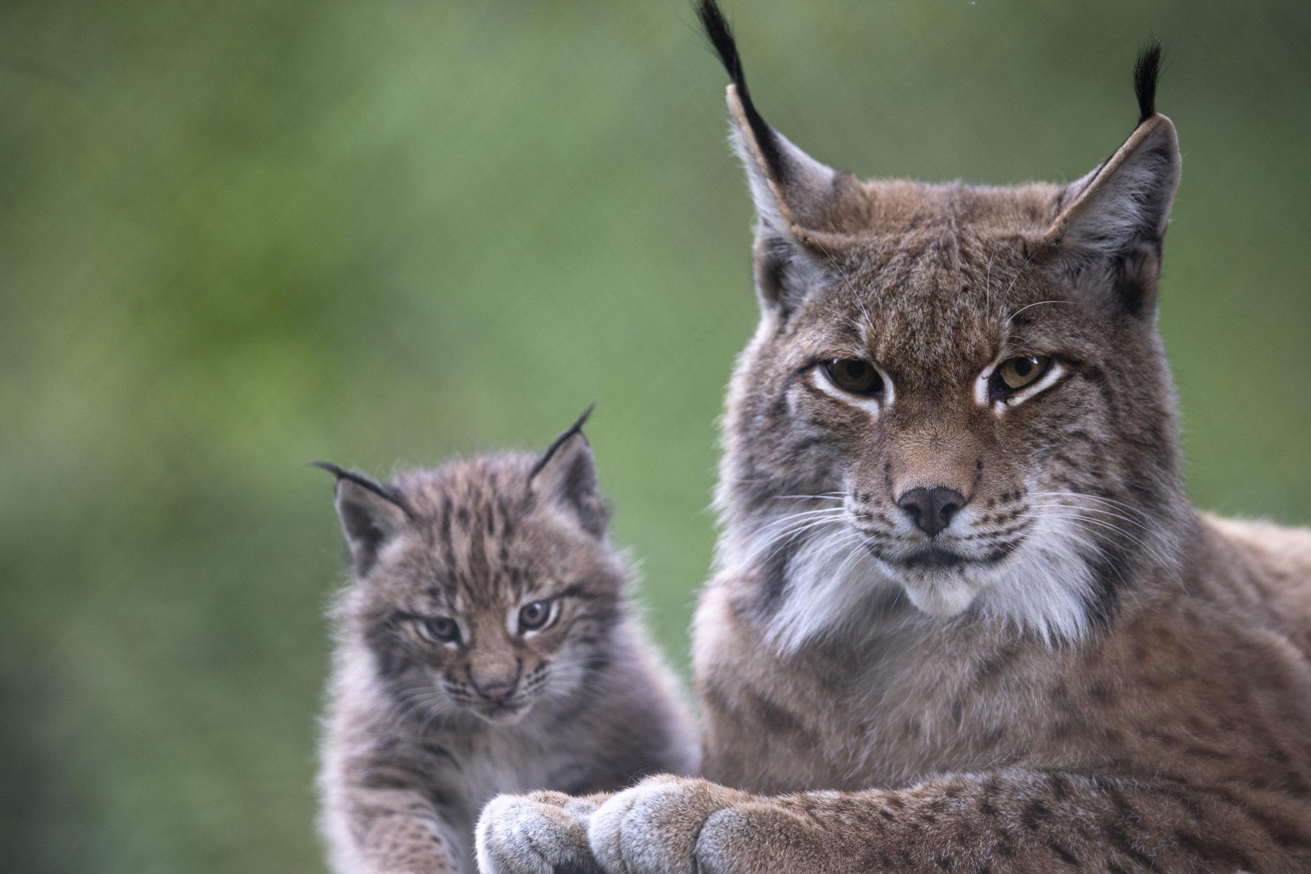 c Daniel Schwab - Naturfotografie Besuchermagneten im Wildpark.