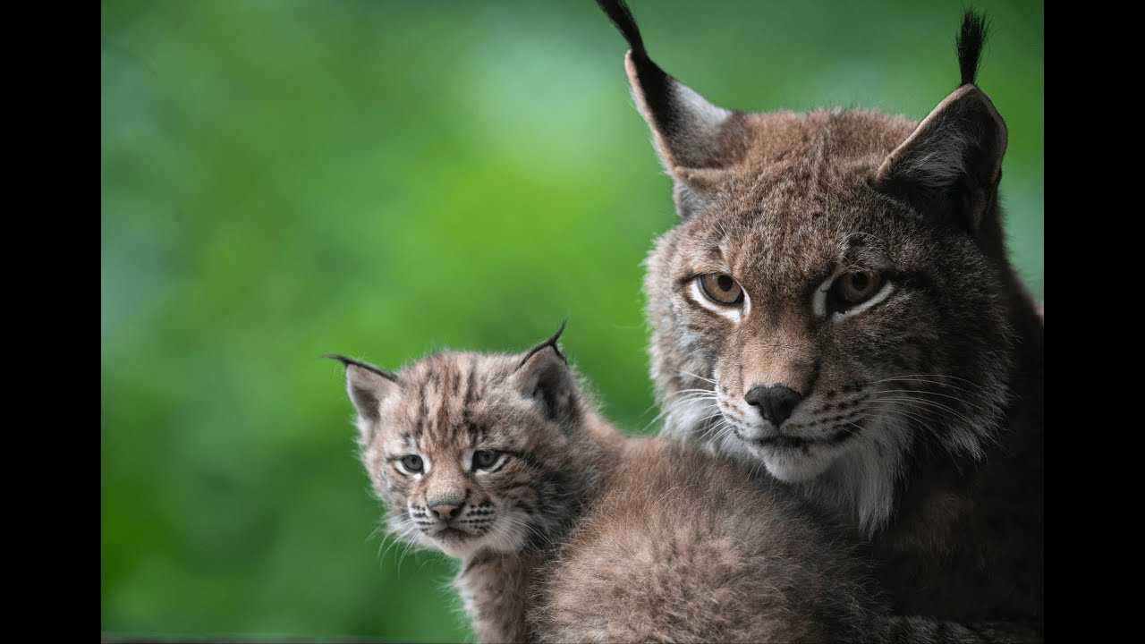 c Daniel Schwab - Naturfotografie Mama und Katzluchs