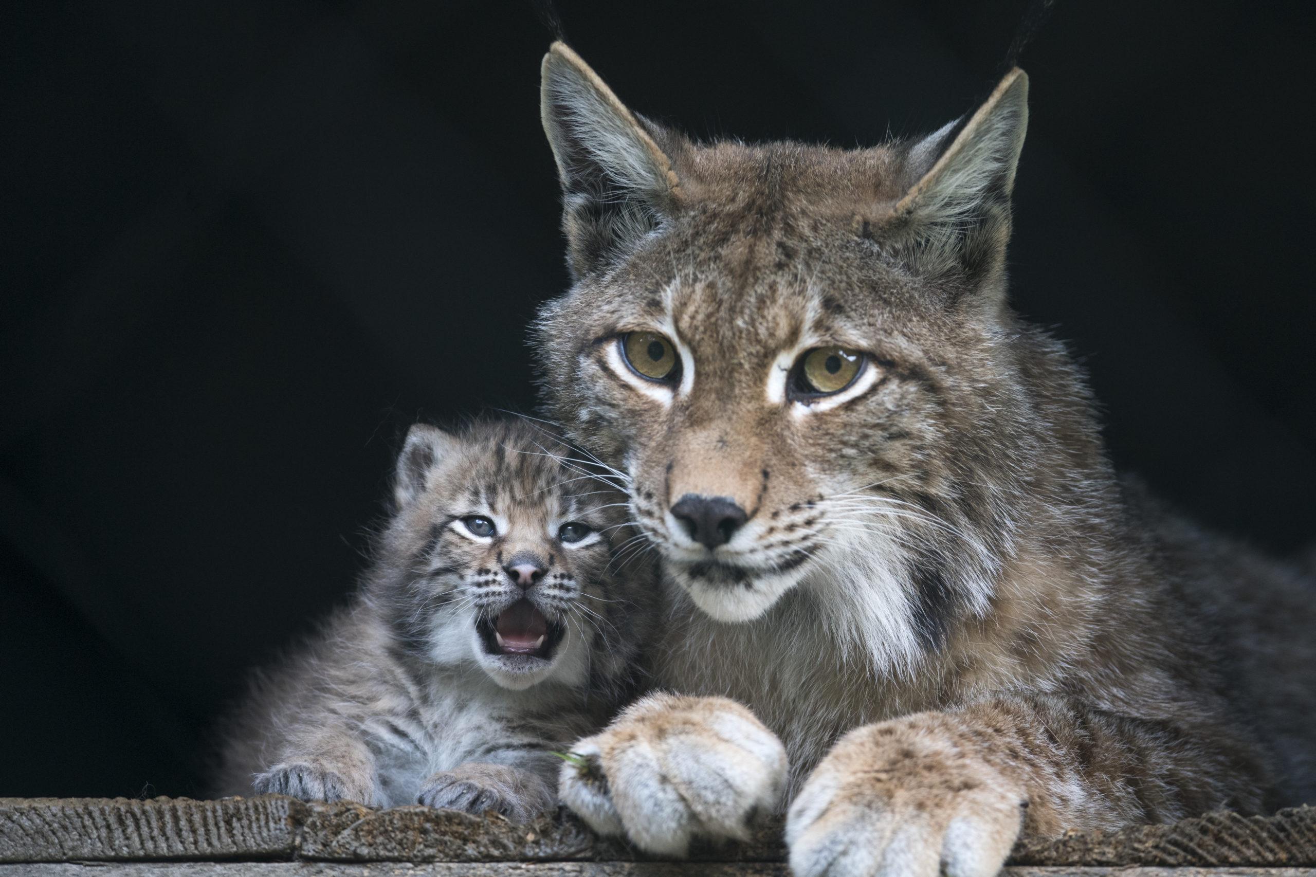 c Daniel Schwab - Naturfotografie Das namenlose Luchsbaby mit Mama Poldi.