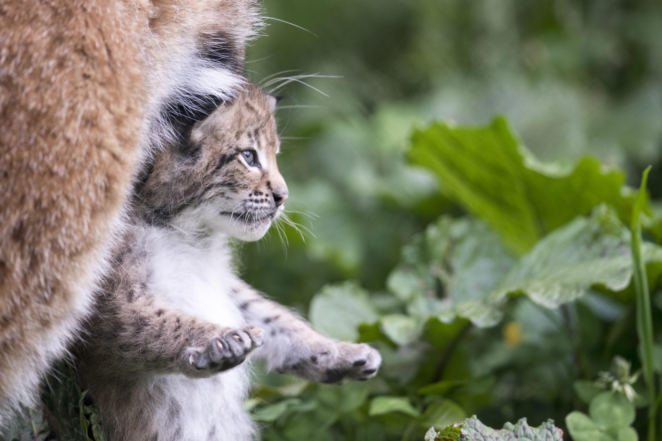 c Daniel Schwab - Naturfotografie Mama Poldi hat das Luchsbaby fest im Griff.