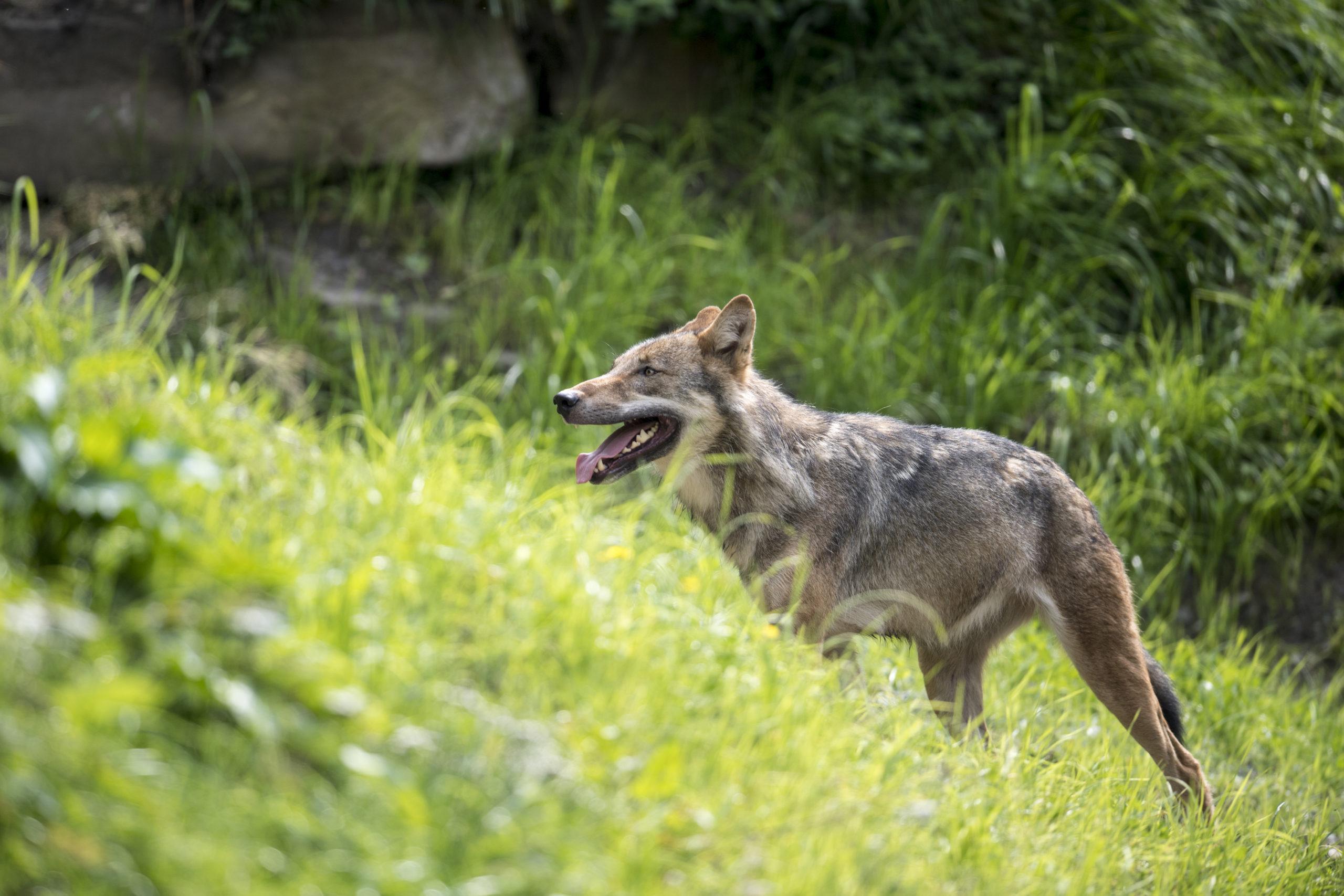 c Daniel Schwab - Naturfotografie Der Wolf im neuen Gehege.