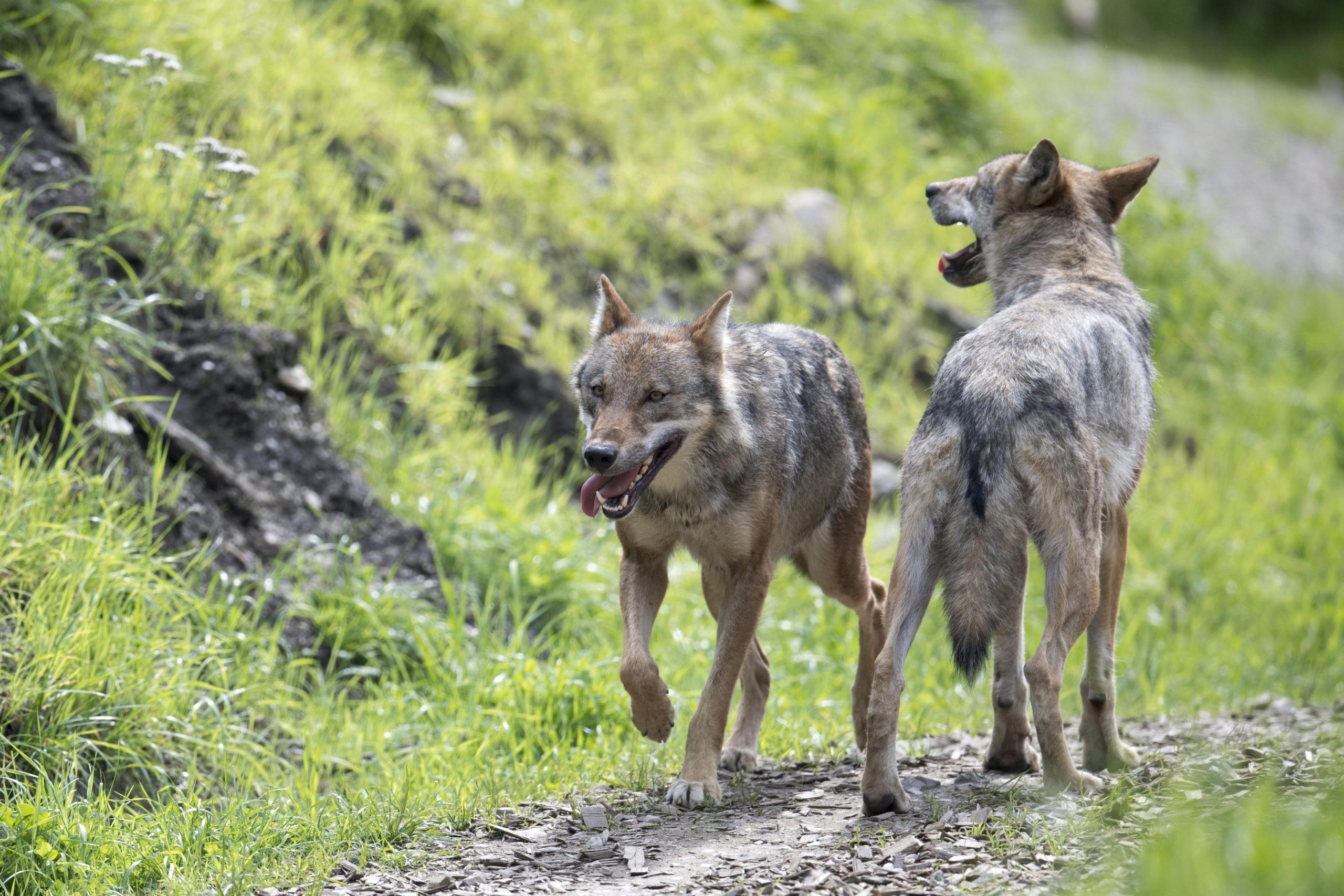 c Daniel Schwab - Naturfotografie Die Wölfe im Wildpark.