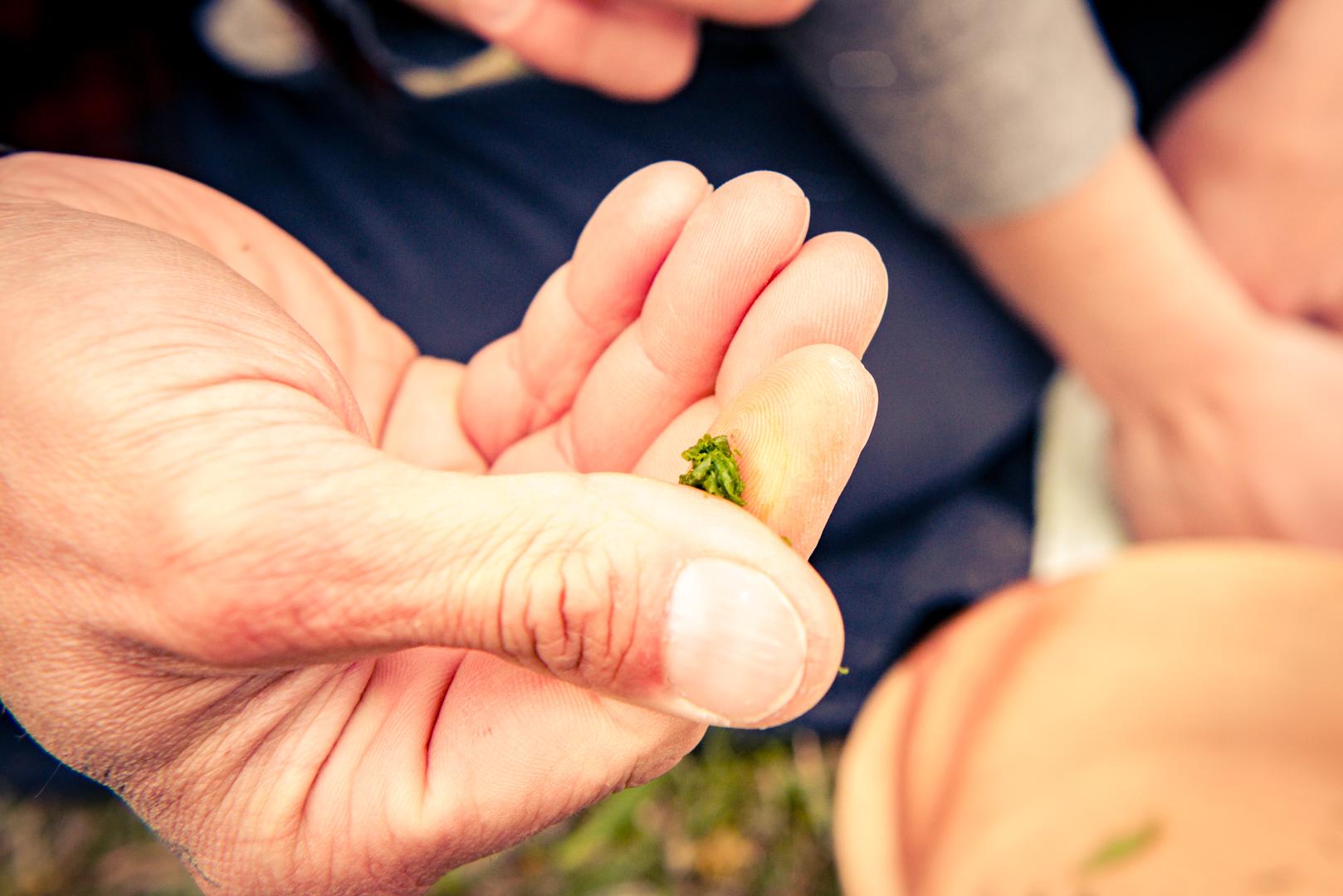Spitzwegerich zerreiben und auf einen Insektenstich geben. © Edith Danzer