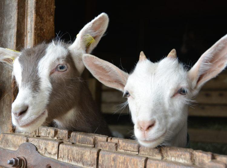 Neugierige Ziegen am Lahngut