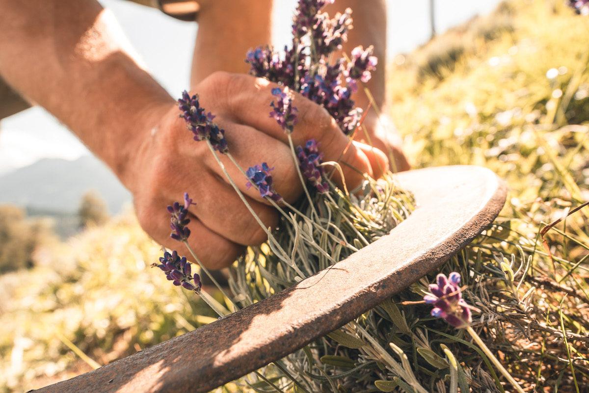 Lavendelernte mit der Sichel © Andrea Bichler