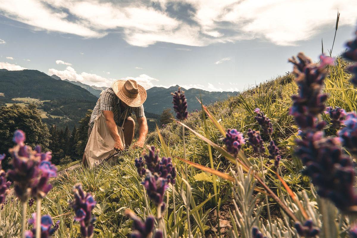 Lavendelernte am Furtlegg-Hof ©Andrea Bichler