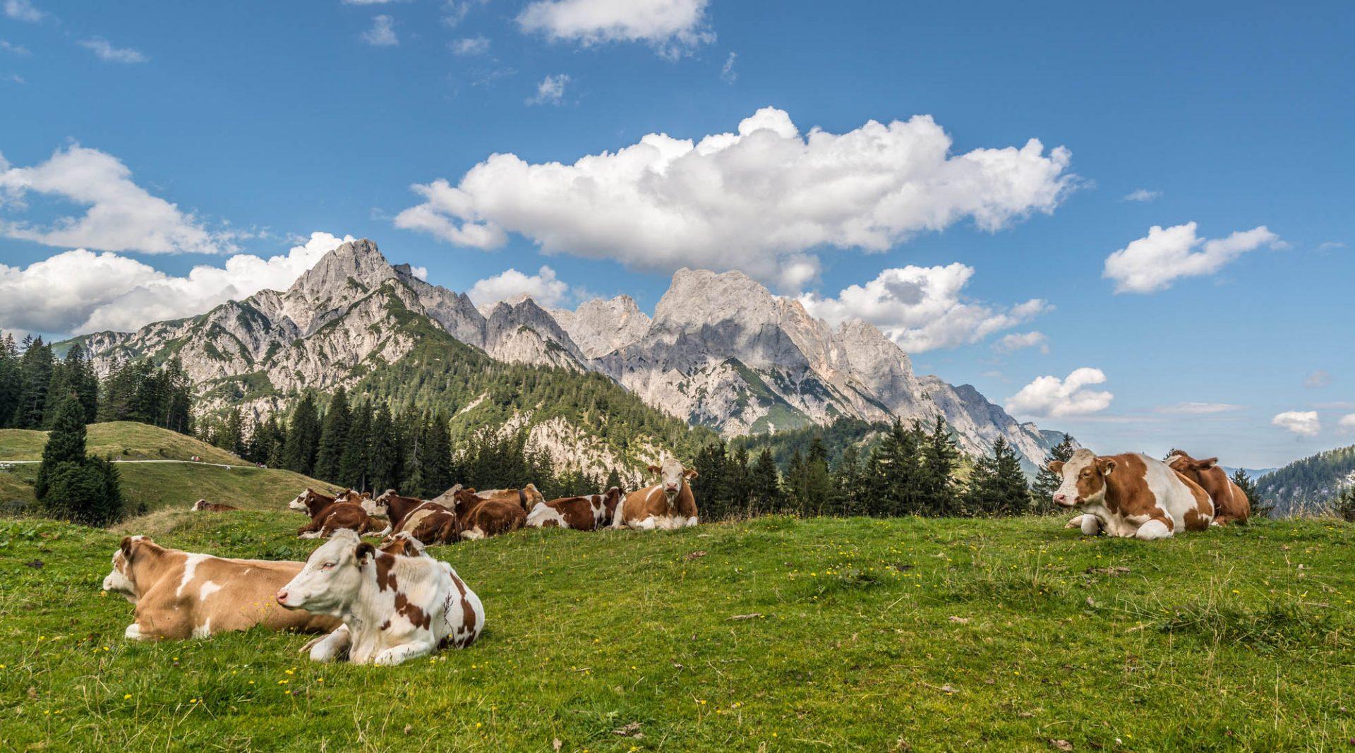 Die Kühe verbringen ihren Almsommer auf den Hochalmen.